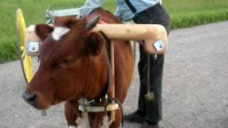 (Video #2 of 2) Re-Hitching the Oxcart