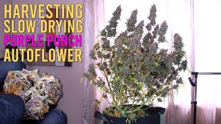 HARVESTING \u0026 SLOW DRYING OVER A QUARTER POUND OF PURPLE WEED FROM 1 AUTOFLOWER PLANT
