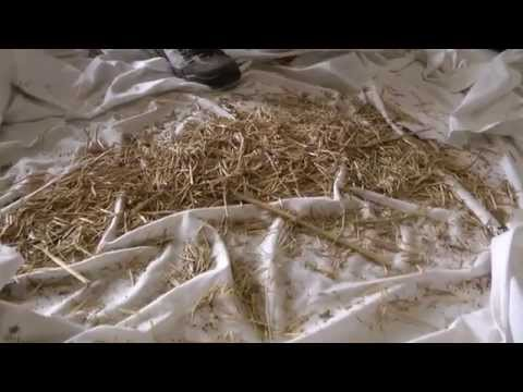 Vegetable Seed Saving - How to process dry seed, processing dry seeds and germination test
