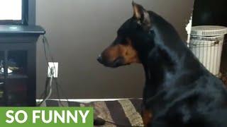 Doberman humorously struggles with new dog trick
