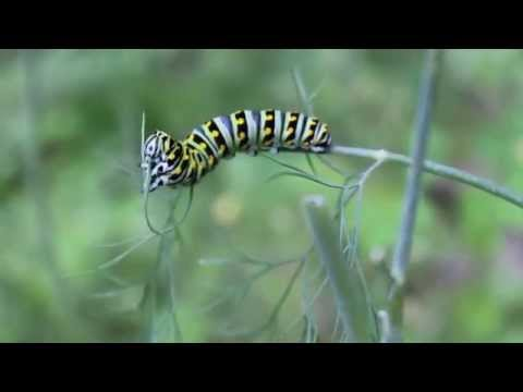Voracious Caterpillar Mows Down the Dill Weed