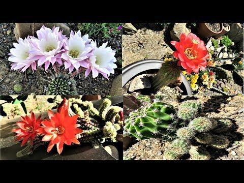 My Cactuses In Bloom