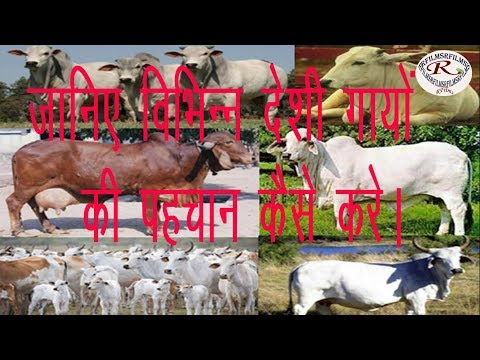 स्पेशल देसी नस्ल की गायों की पहचान कैसे करें, How to identify special country cows