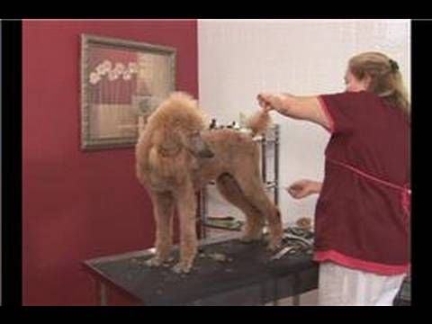 Poodle Dog Grooming : Poodle Dog Grooming: Trimming the Tail