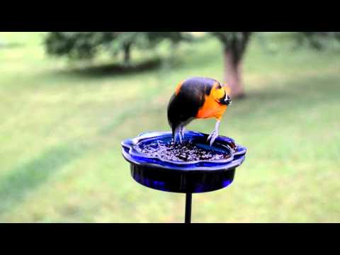 Wild Bird House : Bluebirds & Orioles Eating Mealworms & Grape Jelly w/ Nature Sounds