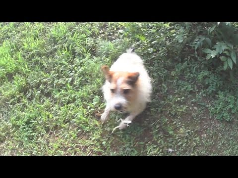 Jack Russell Chasing a Frog in Slow Motion-Sony HDR-AS100V