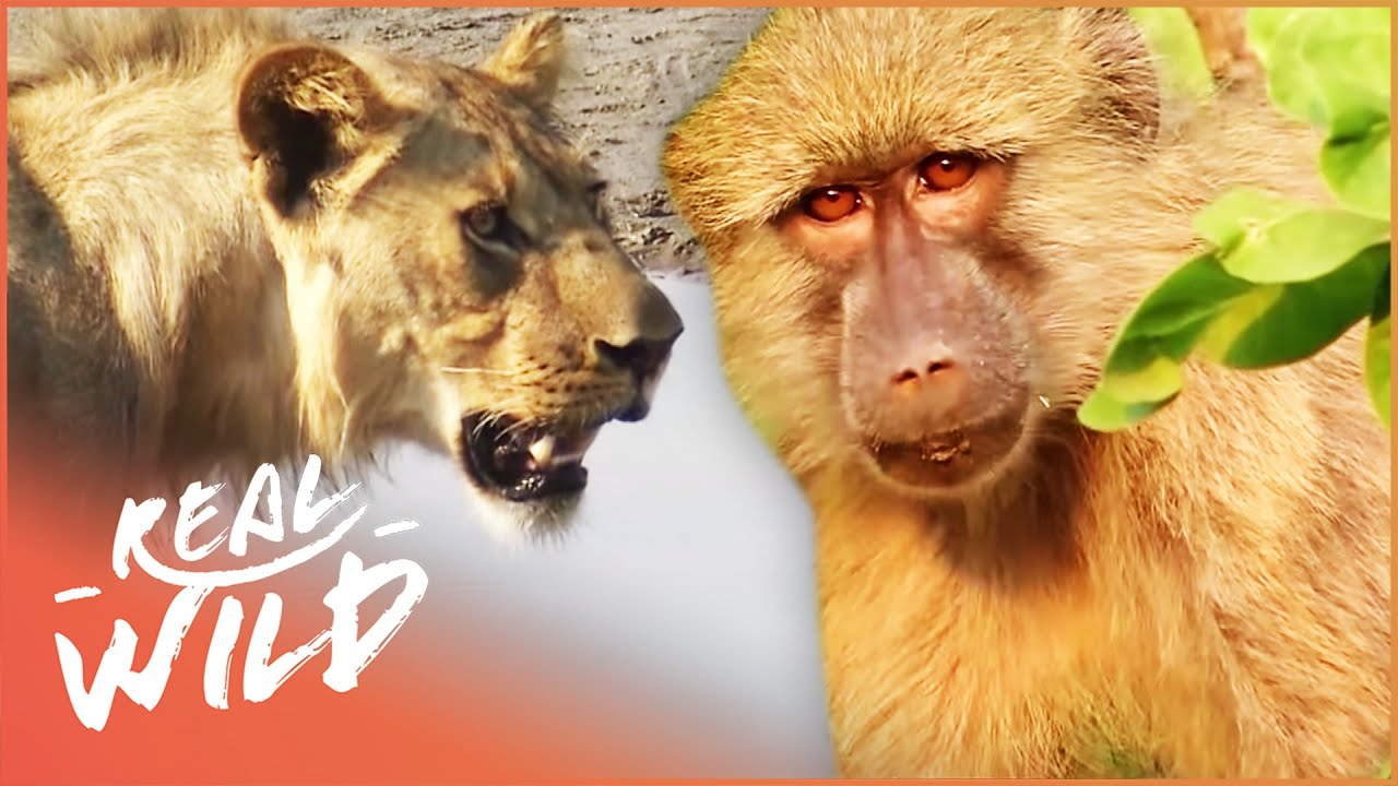 Valley Of The Golden Baboons (Wildlife Documentary) | Real Wild