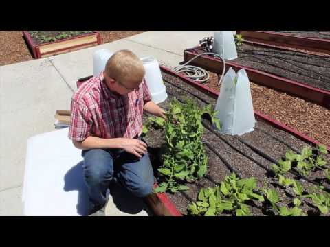 How To Use Two Miniature Greenhouses for Optimal Tomato Growth