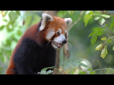 Red Panda Jang eats bamboo (Red Panda Network)