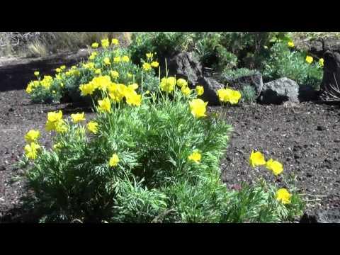 California Poppy Extract