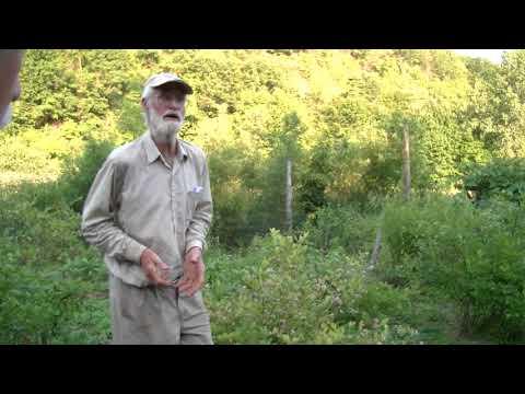 2  Blueberry Bushes  Using Sulfur or Aluminum Sulfate