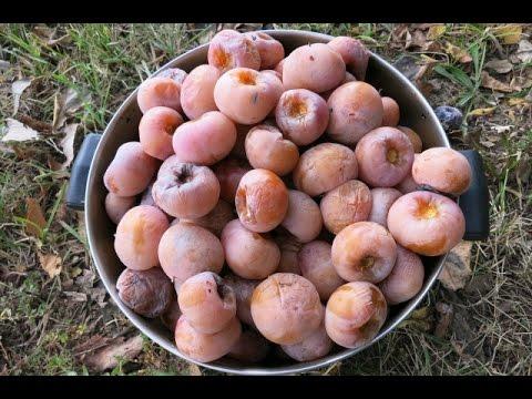 Great persimmons video. Deer food.