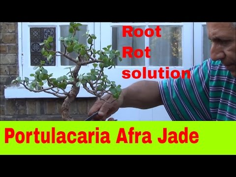 Bonsai  Jade root rot, root pruning and protecting - mikbonsai