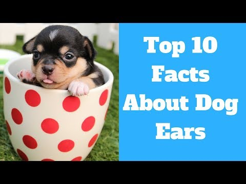 Dog Ear | Top 10 Fun Facts About Dog Ears