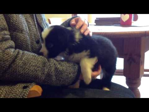 Choosing Our Border Collie Puppy