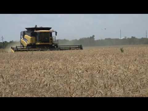 Wheat Disease Breakthrough