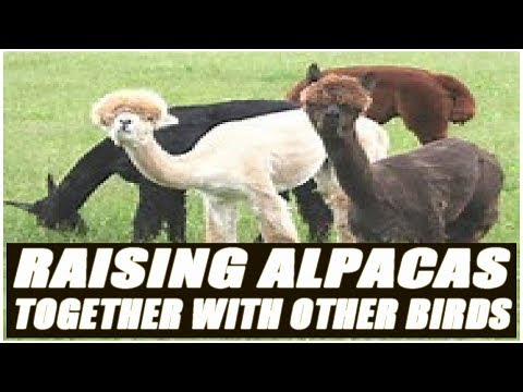 Raising Alpacas Together With Other Birds