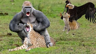 The Best Of Eagle Attack 2021 – Most Amazing Moments Of Gorilla Save Baby From Leopard Hunting