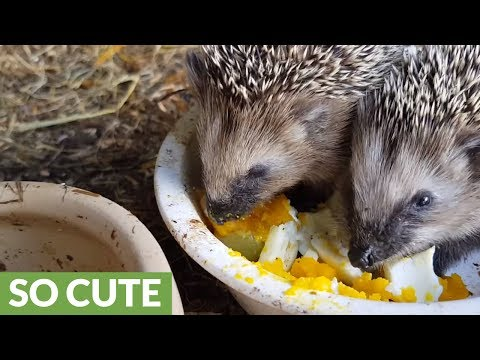 Half-starved abandoned baby hedgehogs get second chance