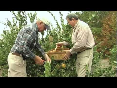 SC grower sweet on citrus