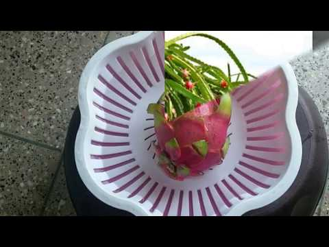 Dragon Fruit - Cutting & uses