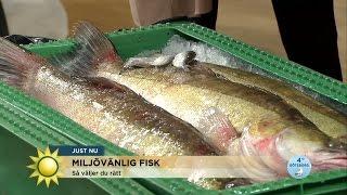 Här är fiskarna du kan äta med gott samvete - Nyhetsmorgon (TV4)