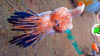 Parrot Beak Long Tail Jawa Aseel Breeder