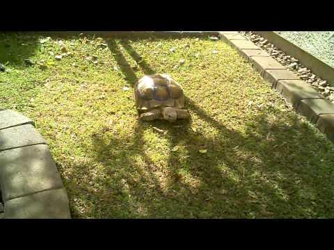 Sulcata Tortoise Habitat - Home Backyard