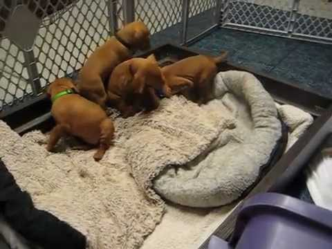 Vizsla Puppies - 4 weeks old