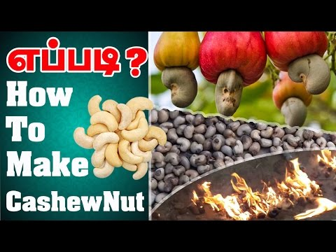How To Make Cashew Nut | Processing |  YES TAMIL