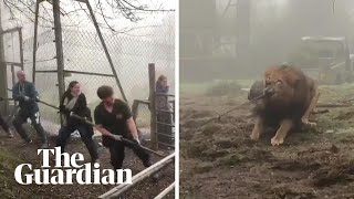 Tug-of-war with a lion? Dartmoor zoo offers 'cruel' challenge
