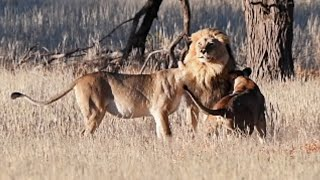 Lionesses Elated When Big Male Lion Returns From His Territorial Patrol | Kgalagadi