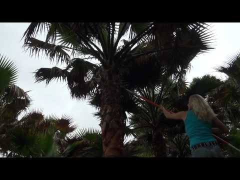 How to trim Mexican Palm Tree Leaves! Pruning.