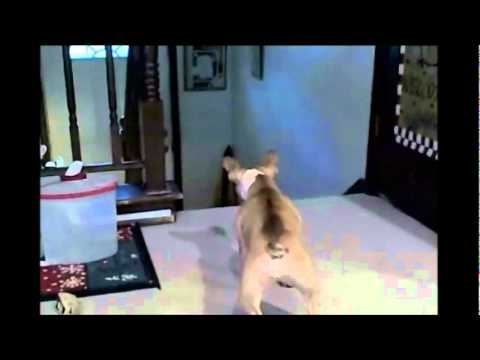 French bulldog vs cat