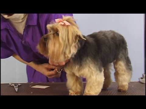 Yorkshire Terrier Grooming by Pet  Grooming Studio ( Pet Trim )