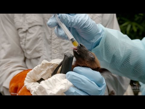 Virus Hunter: Monitoring Nipah Virus in Bat Populations | HHMI BioInteractive Video