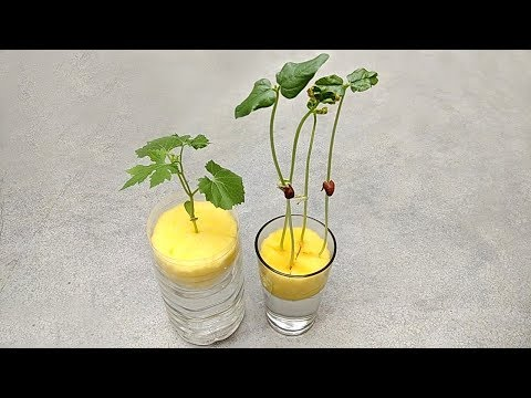 Grow plants in water   Grow plants without soil