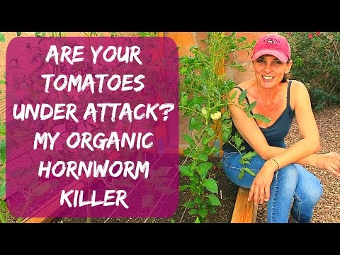 Tomato Hornworm Control - Organic Treatment For The Green Caterpillars Eating Your Plants
