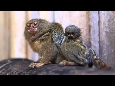 World's smallest monkey gives birth to world's cutest babies