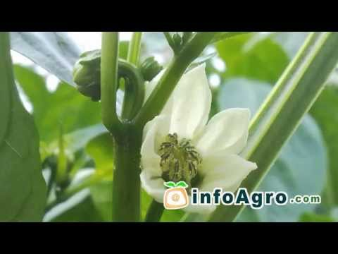 Peppers Growing. How to plant, grow and harvest peppers 2/2