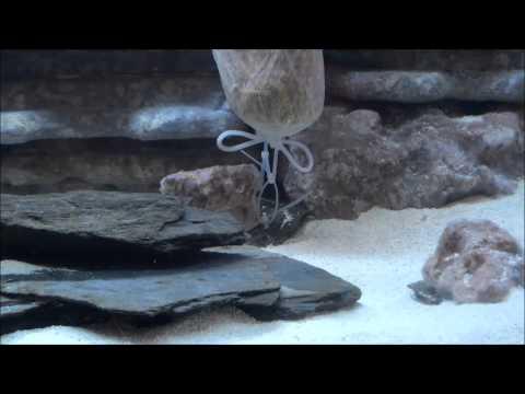 75 Gallon African Cichlid Tank Brown Algae Problem