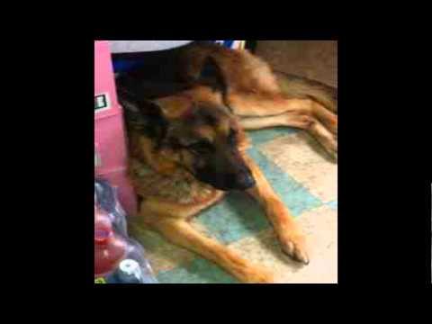 GERMAN SHEPHERD DOGS missing / stolen in UK