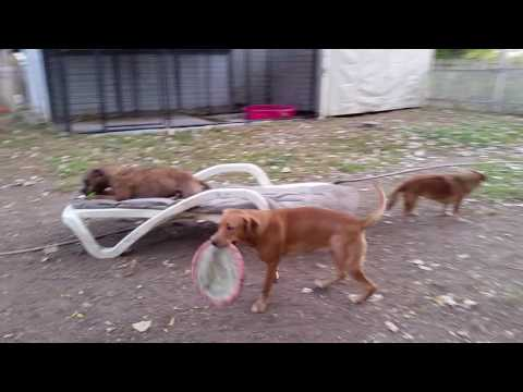 Ginger Playing with her Frisbee(has spinal cysts, wobbly back end)