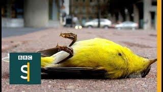 How to stop birds smashing into windows - BBC Stories