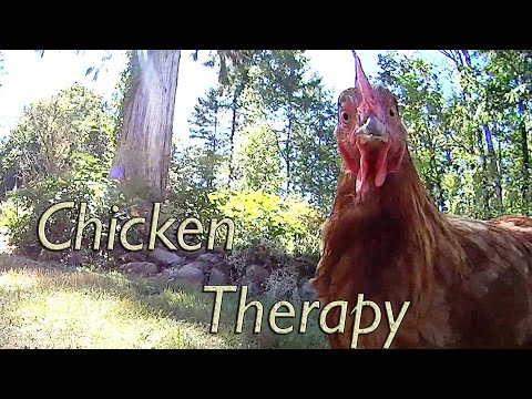 Chicken Therapy - Benefits of Laying Hens in the Backyard.  Chickens in the City.