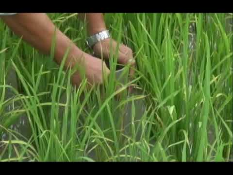 Alternate wetting and drying (AWD)--using less water to grow rice