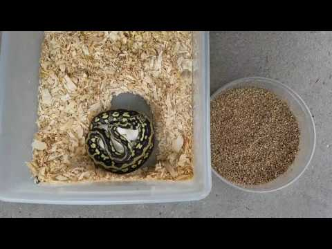 How to remove Carpet Python from clutch of eggs