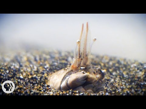 For Pacific Mole Crabs It's Dig or Die | Deep Look