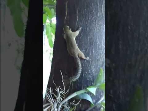 Release minz at mango tree