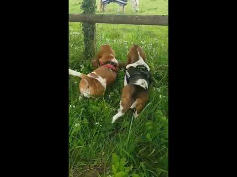 Basset hound puppies see a horse for the first time